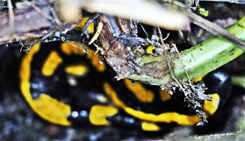 Junger Gebänderter Feuersalamander(Salamandra salamandra terrestris(L. 1758)) in seinem