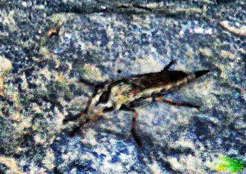 Gemeiner Strauchdieb(Neoitamus cyanurus(Loew 1849))