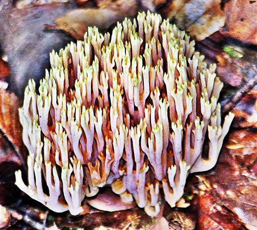 Dreifarbige Koralle(Ramaria formosa(Pers.)Quél. 1888)