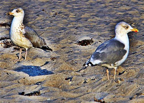 Zwei Silbermöwen(Larus argentatus(Pontoppidan 1763)) am Strand