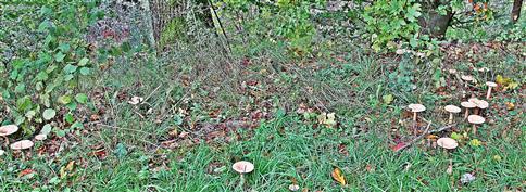 Fast ein halber Hexenring von Flaumigen Birken-Milchlingen(Lactarius pubescens)