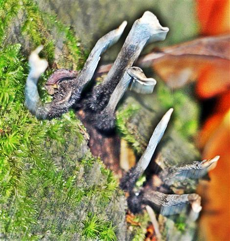 Geweihförmige Holzkeule(Xylaria hypoxylon(L.)Grev.) 00