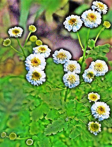 Blüten des Mutterkrautes(Tanacetum parthenium(L.))