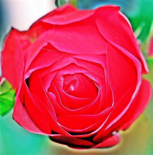 Rote Kulturrose(Blüte)(Rosa)