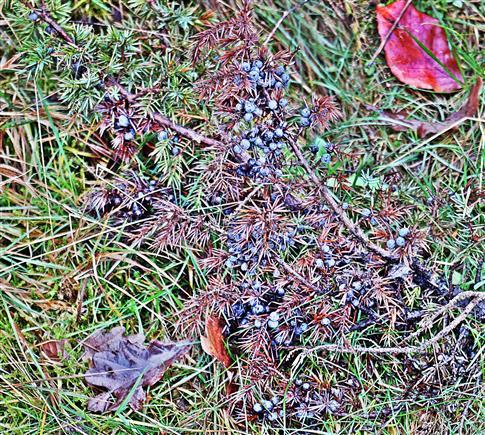 Zweig des Gemeinen Wacholders(Juniperus communis(L.)) mit beerenförmigen Zapfen