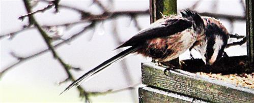 Zwei Mitteleuropäische Schwanzmeisen(Aegithalos caudatus europaeus(Hermann 1804)) am Vogelfutterhaus