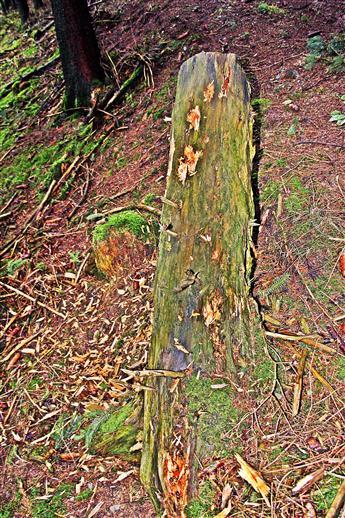 Ein alter Baumstumpf - Gegenstand einer Nahrungssuche eines Spechtes