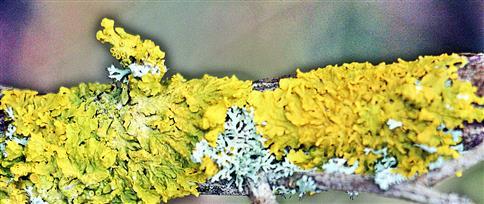 Gewöhnliche Gelbflechte(Xanthoria parietina(L.)Th. Fr.)