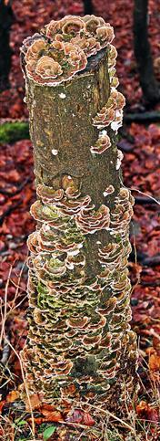 Baumstumpf mit Schmetterlings-Trameten(Trametes versicolor(L. Fr.) Lloyd)