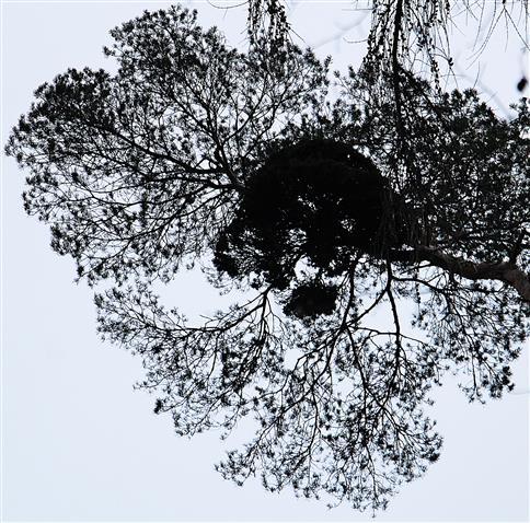 Mistel(Viscum album(L.)) an Waldkiefer(Pinus sylvestris(L.))