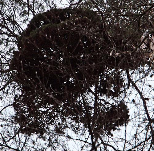 Mistel(Viscum album(L.)) an einer Waldkiefer(Pinus sylvestris(L.))