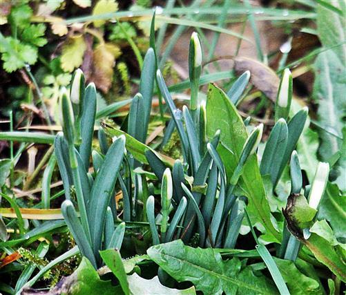 Spitzen von Schneeglöckchen(Galanthus nivalis(L.))