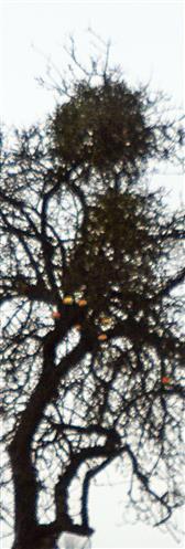 Misteln(Viscum album(L.)) an einem Apfelbaum(Malus domestica(L.)) östlich von Wetter