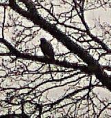 Ein Mäusebussard(Buteo buteo(L. 1758)) auf seinem Ansitz(Baum)