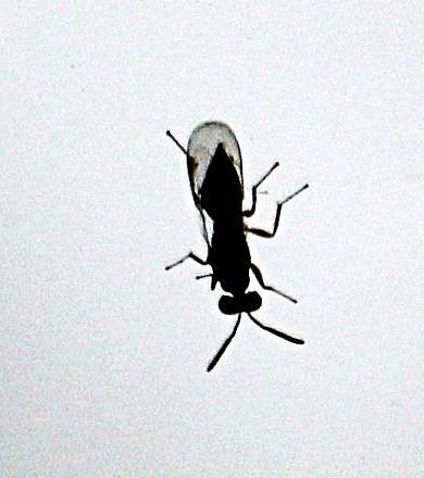 Erzwespe(Perilampidae)