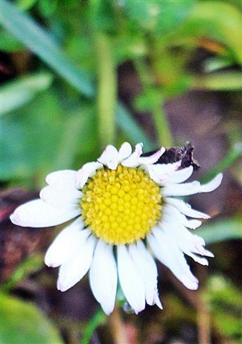 Blüte eines Gänseblümchens(Bellis perennis(L.)) als