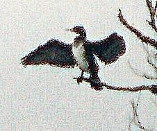 Kormoran aus dem Vorjahr(Phalacrocorax carbo(L. 1758)) an der Lahn südöstlich von Friedensdorf(Hessen)
