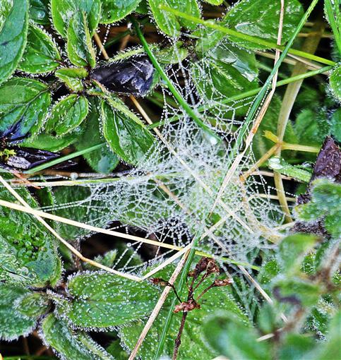 Spinnennetz mit Tau- bzw. Regentropfen (vermutlich von einer Baldachinspinne(Linyphiidae)