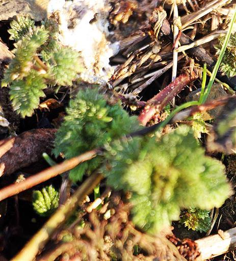 Junge Brennnessel(Urtica dioica(L.))