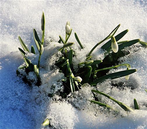 Kleines Schneeglöckchen(Galanthus nivalis(L.)) knospend im Schnee