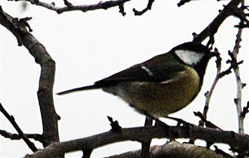 Kohlmeise(Parus major(L. 1758)) 01