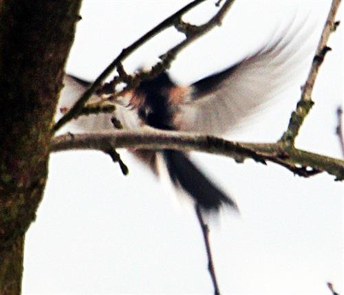 Mitteleuropäische Schwanzmeise(Aegithalos caudatus europaeus(Hermann 1804)) beim Anflug