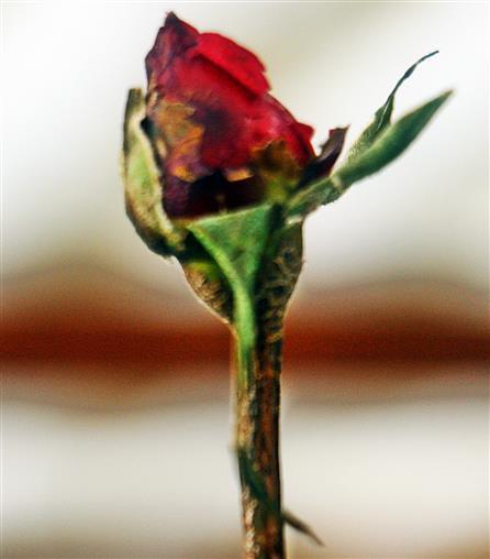 Geschützte Rosenknospe(Rosa(L.)) im Winter