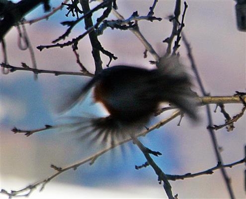 Rotkehlchen(Erithacus rubecula(L. 1758)) beim Abflug Winter(Februar 2018))