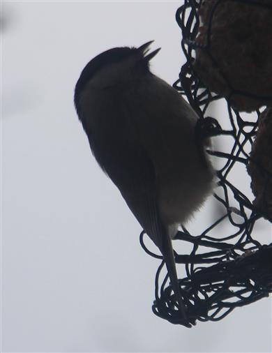 Sumpfmeise(Poecile palustris(L. 1758)) am Futterdrahtgeflecht