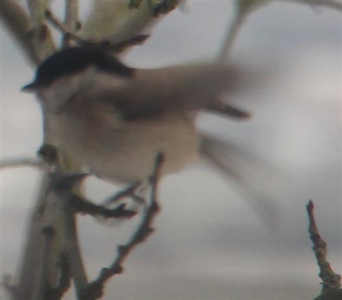Sumpfmeise(Poecile palustris(L. 1758)) kurz vor der Landung auf einem Zweig bzw. Ast Winter(Februar 2018))