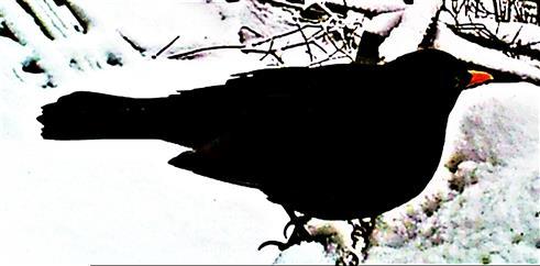 Amselhahn(Turdus merula(L. 1758)) am Komposthaufen