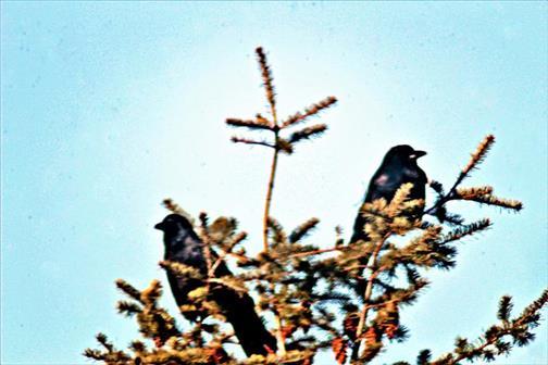 Zwei (junge) Saatkrähen(Corvus frugilegus(L. 1758)) als Wipfelgäste