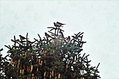 Ein Trupp von Wacholderdrosseln(Turdus pilaris(L. 1758)) als Gipfelgäste rastend