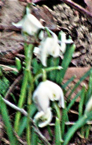 Gefüllte Schneeglöckchen(Galanthus flore pleno)