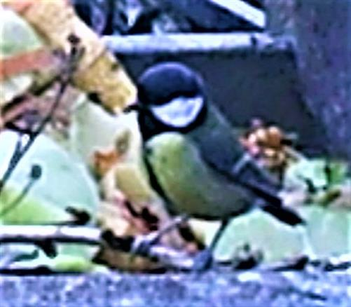 Kohlmeise(Parus major(L. 1758)) am Komposthaufen