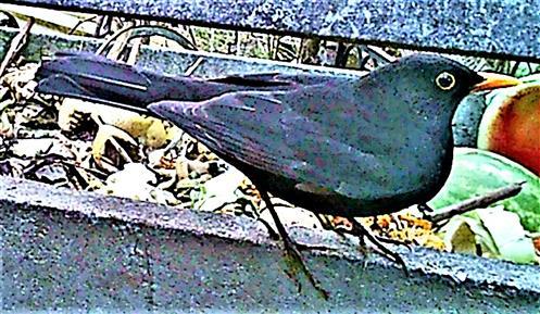 Amselhahn(Turdus merula(L. 1758)) am Rande des Komposthaufens 01