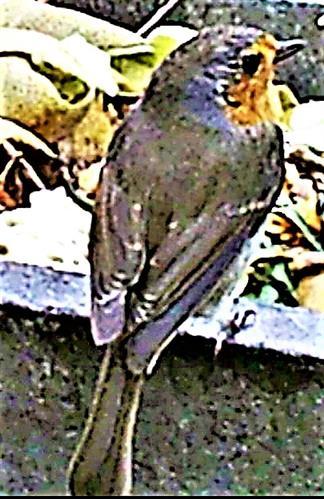 Rotkehlchen(Erithacus rubecula(L. 1758)) am Rande des Komposthaufens 01