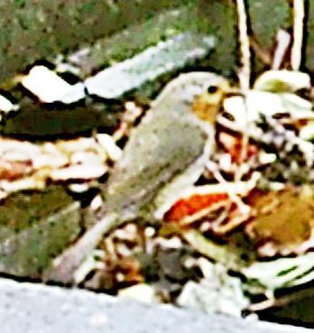 Rotkehlchen(Erithacus rubecula(L. 1758)) auf dem Komposthaufen