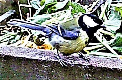 Kohlmeise(Parus major(L. 1758)) am Rande des Komposthaufens 01