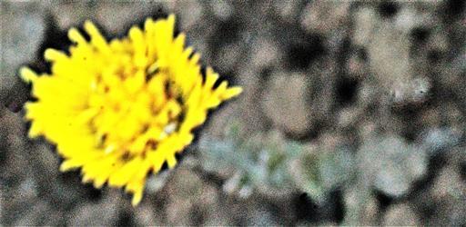 Blüte eines Huflattichs(Tussilago farfara(L.))