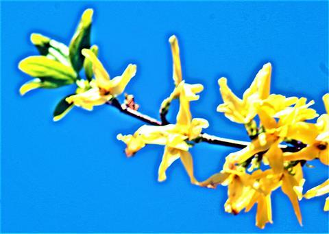 Zweig einer Garten-Forsythie(Forsythia x intermedia(Zapel))