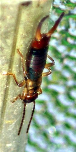 Gemeiner Ohrwurm(Forficula auricularia(L. 1758)) männlich