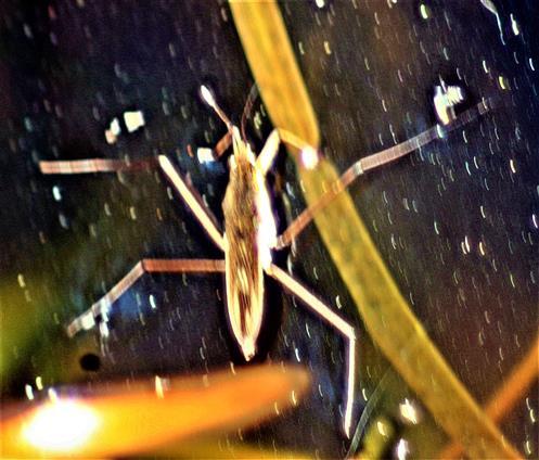 Gemeiner Wasserläufer(Gerris lacustris(L. 1758)) auf einem Tümpel