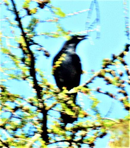 Saatkrähe(Corvus frugilegus(L. 1758)) am Waldrand des Hirschberges