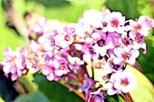 Blüten der Herzblättrigen Bergenie(Bergenia(Moench) cordifolia Sorte