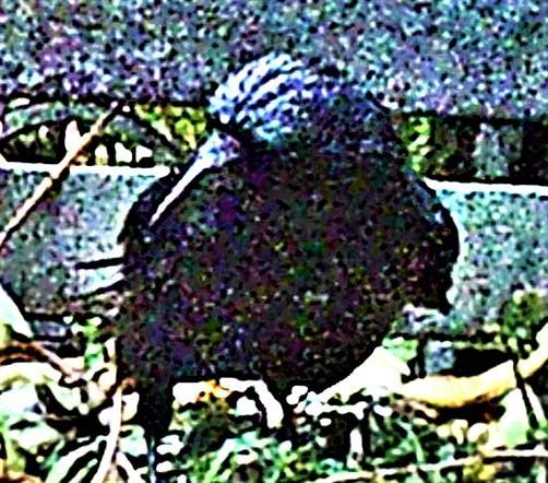 Saatkrähe(Corvus frugilegus(L. 1758)) auf einem Komposthaufen