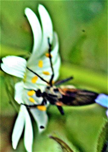 Gewürfelte Tanzfliege(Empis tesselata(Fabricius 1794))