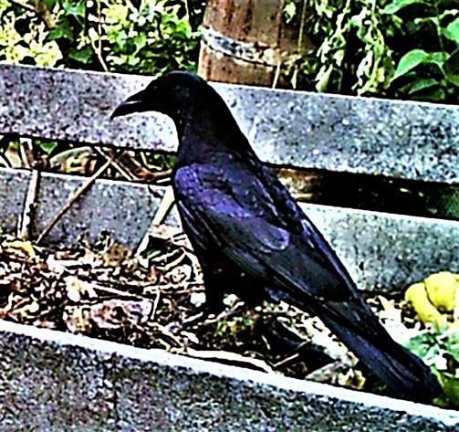 (Junge) Saatkrähe(Corvus frugilegus(L. 1758)) auf einem Komposthaufen