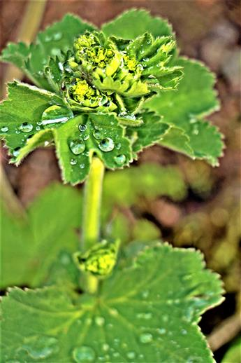 Gemeiner Frauenmantel(Alchemilla vulgaris(L.)) mit Guttation