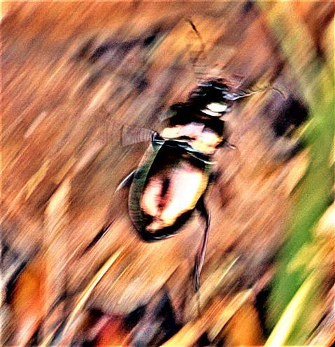 Haarrand-Schnellläufer(Harpalus affinis(Schrank 1781)) 01